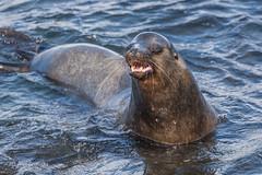 The Dominant Male Sea Lion returns D85_0875.jpg (Mobile Lynn) Tags: sealion wild marinemammals galapagossealion nature fauna mammal mammals otariidae wildlife zalophuswollebaeki southplazaisland galapagosislands ecuador ec