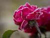 Enrobée de sucre...! - Sugar coated ...! (minelflojor) Tags: rose givre hiver fleur tige macro bokeh pétale flou feuille nature pink frost winter flower stalk petal unfocused leaf