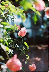 Hoa hồng (hoatran10) Tags: filmisbest film explore analog filmisgod pink nature wildlife rose istillshootfilm buyfilmnotmegapixel filmphoto kodak colorplus 135mm ftn nikon
