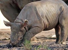 black Rhino Karuna Blijdorp BB2A9193 (j.a.kok) Tags: rhino rhinoceros zwarteneushoorn neushoorn blackrhinoceros blackrhino africa afrika animal blijdorp herbivore babyneushoorn baviaan babyrhino mara mammal zoogdier dier