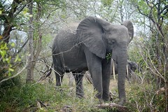 Tembe Elephant (FofR) Tags: elephant tembe africa southafrica african wildlife wild safari forest sandforest ele giant mammal