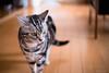 _NCL3276-Edit (chitoroid) Tags: nikond750 nikkor50mmf18g japan hokkaido sapporo cat