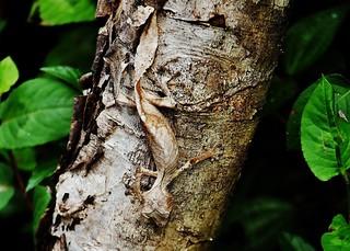 Satanic Leaf-tailed Gecko (Uroplatus phantasticus) Can You See Me?