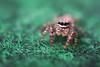 Jumping Spider (Yves Sorge) Tags: macro spider spinne spinnen spiders eyes augen jumpingspider jumping arachnid arachnidae macrophotography makrofotografie