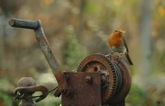 Robin on rusty kog (3) (Simon Dell Photography) Tags: obin rusty old tool winch simon dell photography sheffield s12 shirebrook valley winter autumn nature wildlife wild animal england english country garden rspb