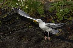 Take Off (Mark Wasteney) Tags: happywingwednesday hww flight wings bird seagulls