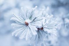 Winter flower (Juh-ku) Tags: winter nature frost hoarfrost