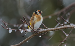 Gold Finch - Standing up to the cold (Ann and Chris) Tags: avian bird cold sleet snow ice wind cute close gorgeous beautiful nature outdoors tree wildlife wild
