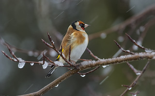 Gold Finch - Standing up to the cold