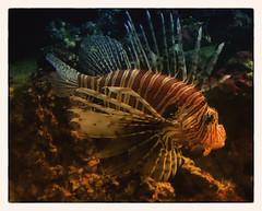 Feuerfisch (Heinze Detlef) Tags: feuerfisch fisch löwenfisch rotfeuerfisch korallenriff indopazifik wasser giftig tier tiere lebewesen unterwasser