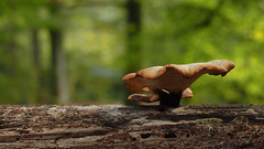 Blackfoot Polypore - Polyporus leptocephalus (Visual Stripes) Tags: fungus fungi mushrooms forest tree autumn mzuiko 35mmmacro olympusepm1 olympus bokeh