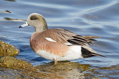 American Widgeon Drake (tresed47) Tags: 2017 201712dec 20171219marylandbirds birds cambridge canon7d content december ducks fall folder maryland peterscamera petersphotos places season takenby us widgeon ngc