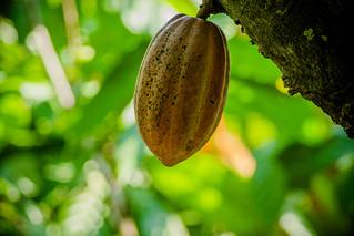 El cacao en Guatemala