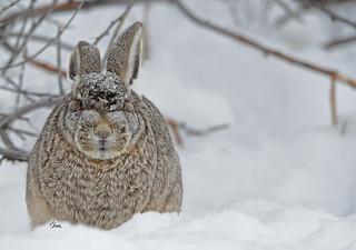 Snow Bunny - Black-tailed Jackrabbit - 2633b+