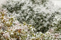 Nieve en Barajas (Eduardo Sampedro) Tags: barajas copodenieve fuji fujix fujifilmxt1 madrid naturalezaurbana nevando nieve parqueurbano snow snowflake snowing xt1