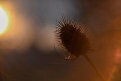 Lens flare. (agnieszka.a.morawska) Tags: poland lublin winter nature lensflare sun dof helios44m helios44 helios beyondbokeh bokehlicious bokeh flower sunset