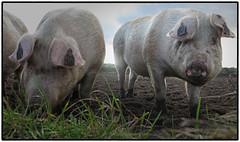 Glint in the eye (Stephen Braund) Tags: pig contrejour animal suffolk farm field mud