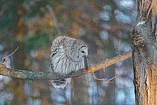 Owl, eating mole