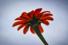 Down Under (MrBlueSky*) Tags: flower petal plant garden horticulture nature outdor colour kewgardens royalbotanicgardens london pentax pentaxart pentaxlife pentaxk1 pentaxawards pentaxflickraward aficionados