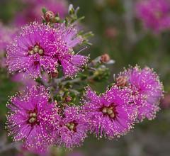 Melaleuca seriata, Jandakot Regional Park, near Perth, WA, 17/11/17 (Russell Cumming) Tags: plant melaleuca melaleucaseriata myrtaceae jandakotregionalpark perth westernaustralia