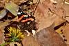 Red admiral butterfly ( vanessa atalanta ) Адмирал on dandelion /върху жълтурче DSC_0495 (Me now0) Tags: redadmiralbutterfly vanessaatalanta адмирал dandelion жълтурче есен следобед макро близъкплан юженпарк софиябългарияевропа пеперуда nikond5300 micronikkor40mm macro closeup