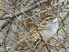 White-Throated Sparrow in Arkansas (birdsflocktogether) Tags: whitethroatedsparrow arkansas bird