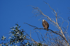 Osprey (linda m bell) Tags: pradoregionalpark 2018 birdwatching chino prado birds california socal osprey