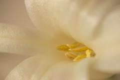 Sweet Sweet Hyacinth (Robin Penrose - Canadian eh?) Tags: 201802 macro macromonday flower white lessthananinch