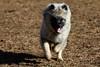 aKona Jan Park_0297wm (Perfomance Photography) Tags: dog dutch fun german kees keeshond mud park play pup puppy smile spitz tongue