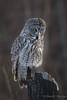 Great Gray Owl (Turk Images) Tags: borealforest greatgrayowl strixnebulosa alberta birds ggow owls strigidae winter bird