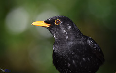 Blackbird with white patches. (spw6156 - Over 6,404,003 Views) Tags: blackbird with white patches copyright steve waterhouse