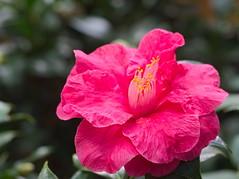 PC210071-1 (Asansvarld) Tags: rose ros blommor flowers bergianska botanical botaniskträdgård olympusomdem5 microfourthirds manuallens manuelltfoto