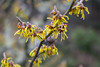 Yellow Witch (Dave In Oregon) Tags: witchhazel yellow flowers winter nature oregon rainieroregon