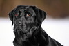 who is following me? (uwe.kast) Tags: labrador labradorretriever labradorredriver bichou bokeh hund haustier dog schnee snow black canon canon750d ef70200mm