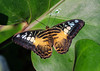 Butterfly (LuckyMeyer) Tags: insect makro botanical garden brown yelow blue butterfly schmetterling green segler