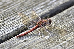 Shimmering on the deck. (pstone646) Tags: dragonfly insect nature animal wildlife closeup fauna ashford macro wings kent