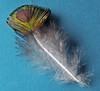 Peacock Feather (Cornishcarolin. Rest in Peace Mum xxx) Tags: cornwall penryn birds feathers peacockfeather