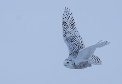 Harfang des neiges (Snowy owl) (miro_mtl) Tags: attente buboscandiacus d7200 harfangdesneiges hibou laurentides mirabel montreal nikon nikond7200 outdoors snowyowl tamron tamronsp150600mm america amerique animals bird birdofprey blanc canada ciel cloudysky feathers hiver light morninglight nature oiseau oiseaudeproie owl patience quebec raptor sky snow waiting wildlife winter