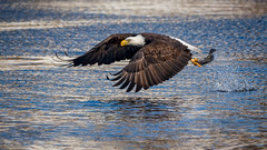 ThisWaterIsYourWater (jmishefske) Tags: mature eating nikon inflight d500 flying february catching eagle symbol fishing fish predator water bird catch birdofprey 2018 america raptor bif bald