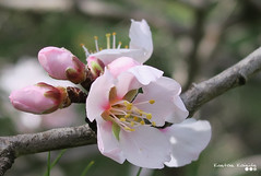 It's February, but spring is on the way... (Κώστας Καϊσίδης) Tags: garden branch branches february winter nature outdoor athens greece almondflower almondtreeinblossom almond blossom flowerybranch promise hope pink wintertheme plant