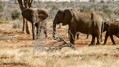 Safari-Tsavo National Park-Kenya (12) (johnfranky_t) Tags: elefanti johnfranky t tsavo natinal park kenya kenia panasonic tz40 alberi savana erba secca rami orecchie proboscide zanne avorio marrone brown elefant trees ivory fangs proboscis ears mammal branches dry