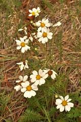 Hymenopappus newberryi, San Miguel Co., NM (RonParsonsflowershots) Tags: nm sanmiguelco hymenopappusnewberryi