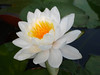 Nymphaea 'Prapunt White' Hardy Waterlily Thailand บัวฝรั่งสัญชาติไทย 'ประพันธ์ไวท์' 9 (Klong15 Waterlily) Tags: prapuntwhite prapuntwhitehardywaterlily waterlily waterlilies hardywaterlilies hardywaterlily prapuntwhitelotus บัวประพันธ์ไวท์ บัวฝรั่ง บัวฝรั่งสัญชาติไทย บัว ดอกบัว บัวสีขาว บัวฝรั่งสีขาว pond pondplant lotusflower landscape landscapes