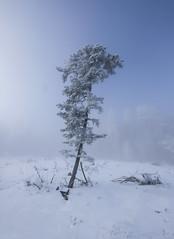 Winter Tree (CoolMcFlash) Tags: winter snow cold tree nature landscape sky fog foggy fujifilm xt2 schnee kalt baum natur landschaft himmel nebel weather wetter fotografie photography forest xf 1024mm f4 r ois