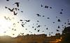 Tourists' nightmare (Debmalya Mukherjee) Tags: pigeons debmalyamukherjee canon550d 18135 birds jaipur rajasthan