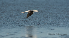 Avocet (Kiskadee Photography) Tags: bird avocet american birder birding sea shore wave water marsh fish fishing sand beach mud shallows mudflat fly hover cruise ornithology