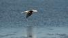 Avocet (Kiskadee Photography) Tags: bird avocet american birder birding sea shore wave water marsh fish fishing sand beach mud shallows mudflat fly hover cruise ornithology
