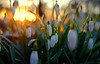 Dreaming of Spring... (JinxiPhotography) Tags: bokeh snowdrop sunset sun glow orange soft spring dream snow cold shallow depth focus bloom blooms dreamy dreaming light uk countryside wild plant pretty winter