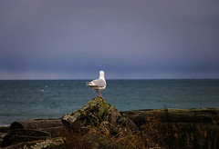 ...what's out there?... (axiepics) Tags: lagoon esquimalt colwood esquimaltlagoon ocean shore shoreline nature water sky sea seagull bird lonely lookout alone driftwood log