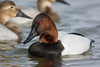 Canvasback (J.B. Churchill) Tags: birds canv cambridgewaterfront canvasback dorchester maryland places taxonomy waterfowl cambridge unitedstates us